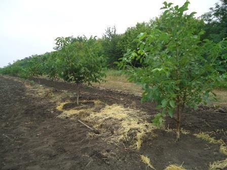 Технология выращивания ореха грецкого в украине 32