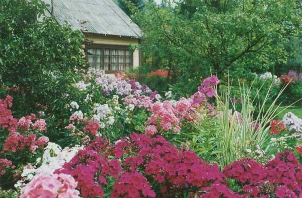 Буйно цветущие в саду флоксы впечатляют своей красотой