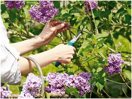 Часть соцветий можно удалять до полного раскрытия цветов
