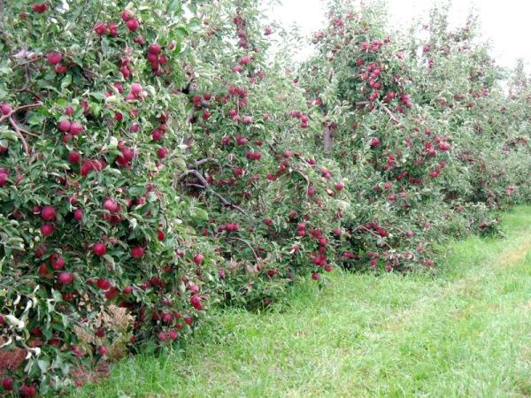 Дачный сад в период плодоношения