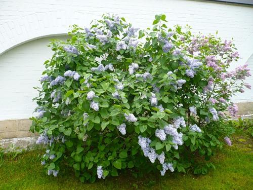 Данное растение неприхотливо, потому будет цвести почти в любых условиях