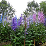 Цветы многолетники для дачи