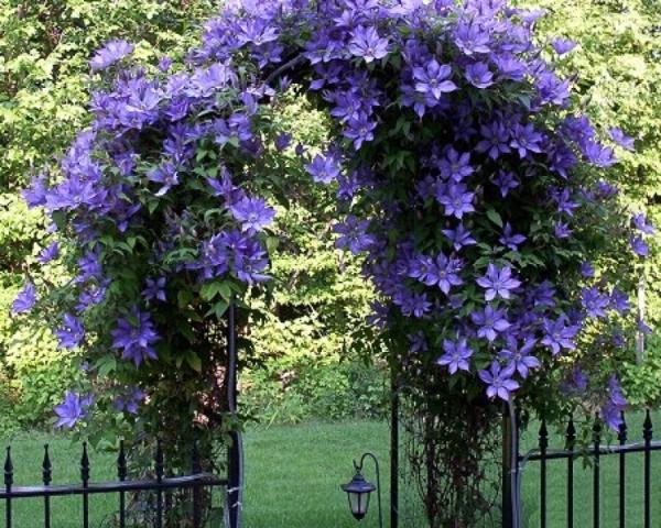 Вьющиеся растения для дачи фото и названия