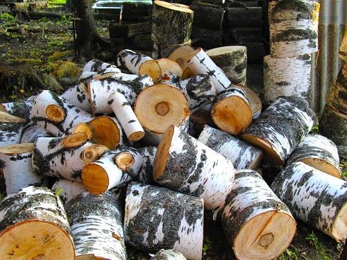 Если вам не удалось раздобыть для изготовления чурок тополь, осину или дуб, не расстраивайтесь, береза – отличное местожительство для грибной семьи