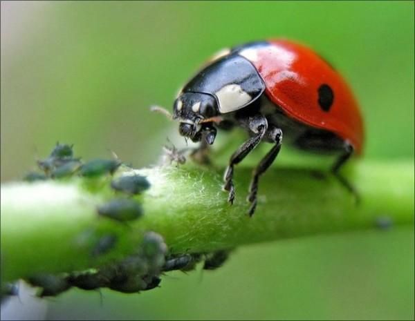 Этих насекомых охотно поедают божьи коровки