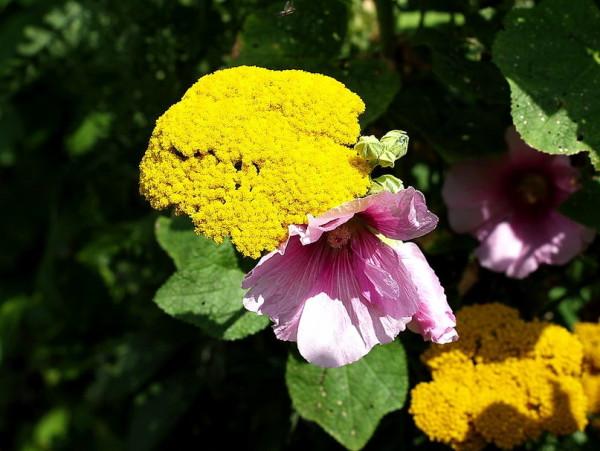 Этот вид имеет не очень много сортов, но все они испробованы садоводами и набирают популярности с каждым сезоном