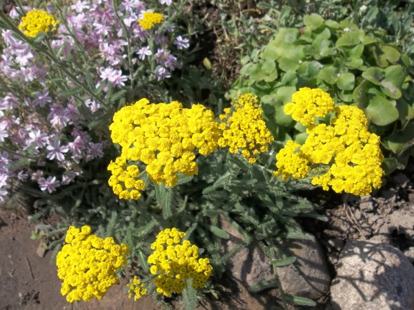 Этот вид растения отлично подходит для выращивания в садах