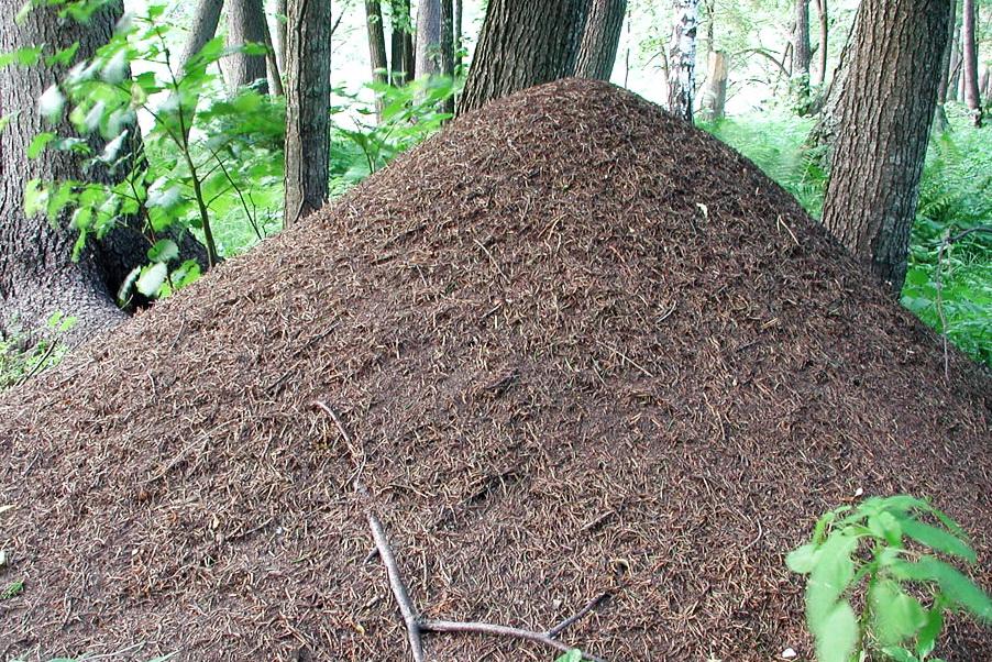 Фото крупного муравейника