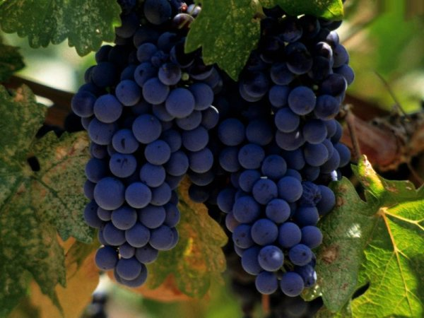 Фото винограда «Изабелла»