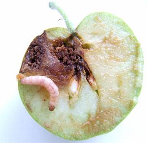 Фото яблока, поврежденного личинкой плодожорки