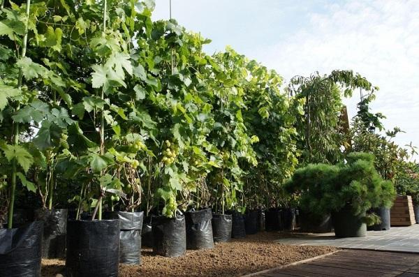Готовые к высадке саженцы винограда