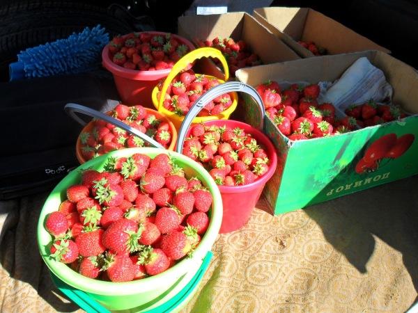 Хороший урожай вкусной ягоды стоит того, чтобы в течение нескольких недель следить и заниматься ее проращиванием
