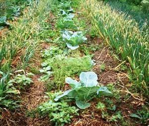 Использование перегноя дает возможность повысить урожайность