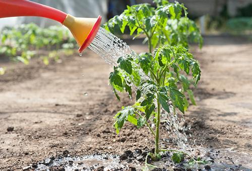 Избавиться от тли своими руками можно с помощью мыльно-масляных растворов, настойки помидорных листьев или чеснока