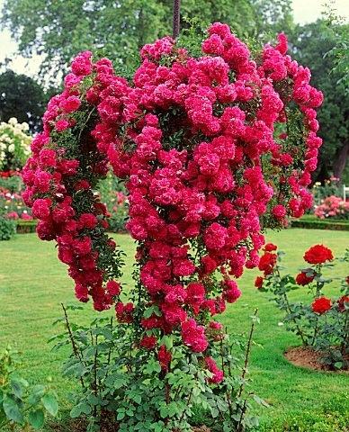 Как обустроить розарий? Используйте штамбовые розы в качестве главной скрипки