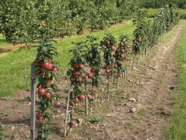 Коммерческая посадка молодых саженцев яблони.