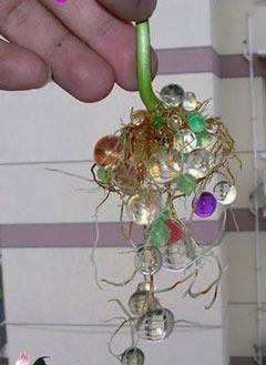 Корешки сами тянутся к шарикам гидрогеля
