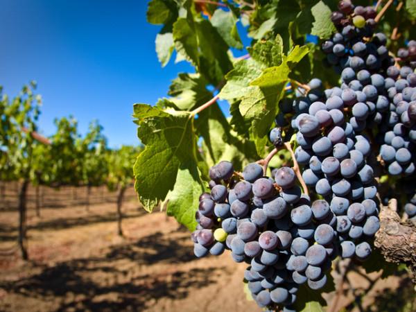 Красивые гроздья синего винограда