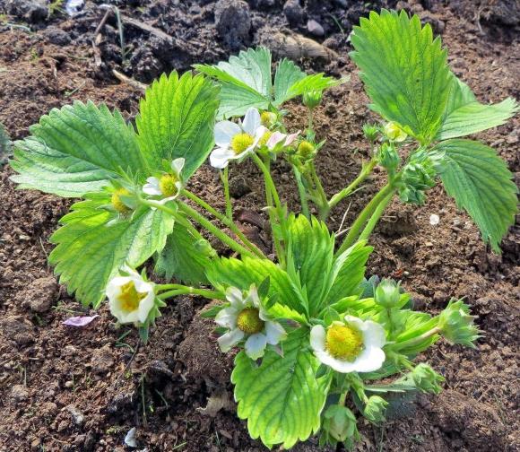 Кустик садовой земляники
