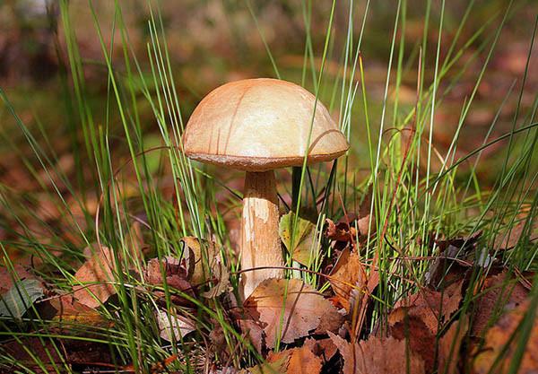 Лесные грибы отлично приживаются на дачных участках, при должном уходе вы успешно можете вырастить подосиновики или пузатые подберезовики