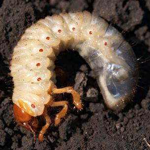 Личинка хруща в земле