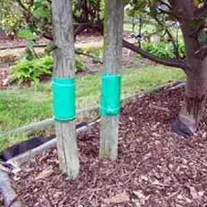 Ловчие пояса на садовых деревьях