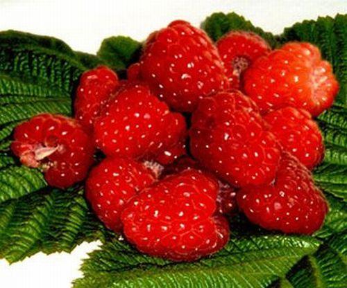 Малина – ягода любимая всеми