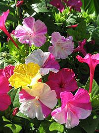 Мирабилис садовый
