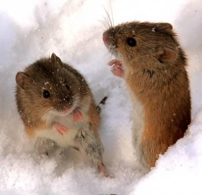 Мыши на пути к садовым деревьям