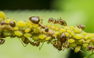 На фото - муравьи «пасут» тлю