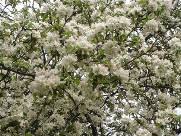 На фото - яблоневый цвет