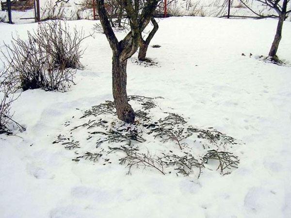 На фото- к дереву подгребается снег и утаптывается