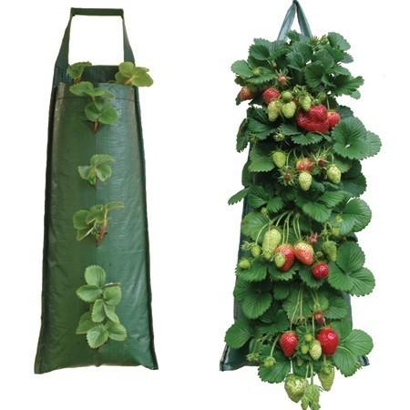 На фото – пример выращивания земляники в мешках