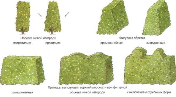На фото показаны варианты обрезки живой изгороди