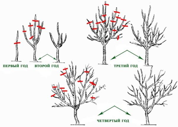 Наглядная схема укорачивания плодовых деревьев.