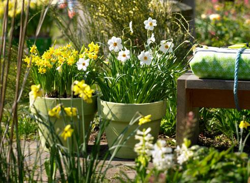 Нарцисс – красивый неприхотливый цветок