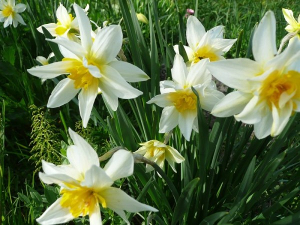 Нарцисс – неприхотливое морозостойкое растение