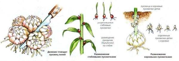 Некоторые сорта хорошо размножаются стеблевыми луковицами