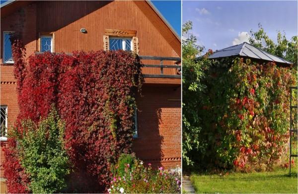 Неописуемая красота винограда осенью