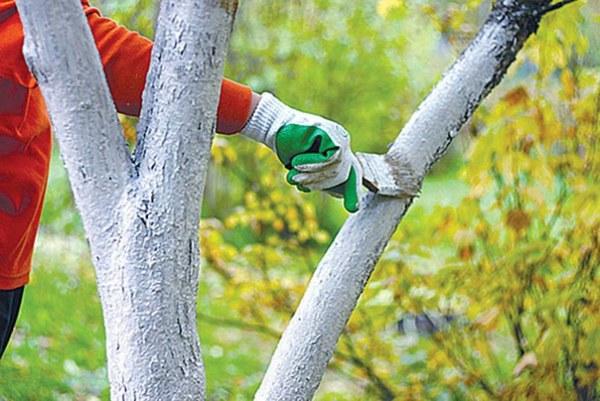 Обработка деревьев в саду железным купоросом