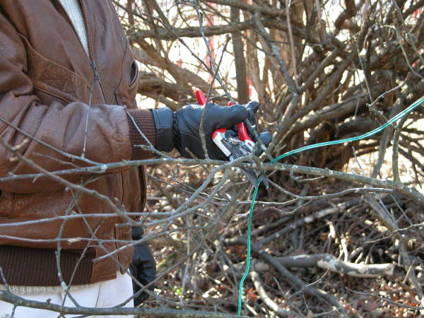 Освобождаем дерево от лишних веток и открываем доступ к солнцу