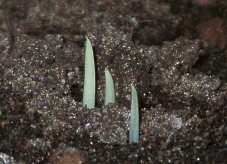 Первые ростки экзотичной растительности
