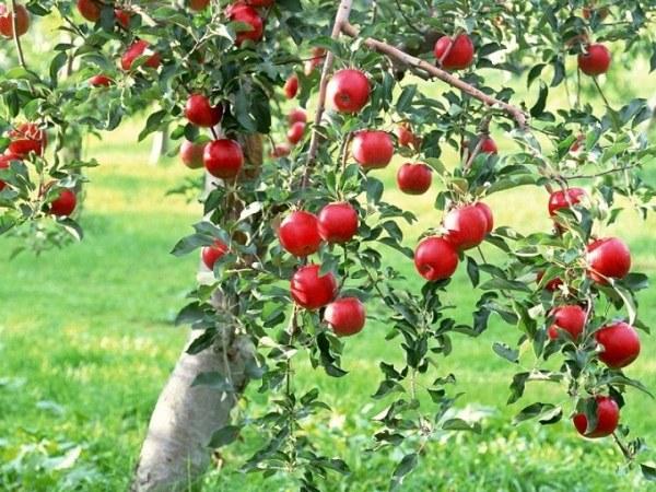 Плоды здоровой яблони