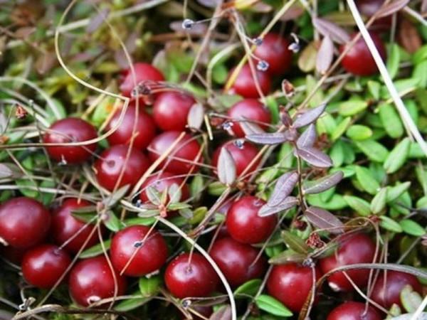 Правильное прореживание позволит получить урожай крупных плодов