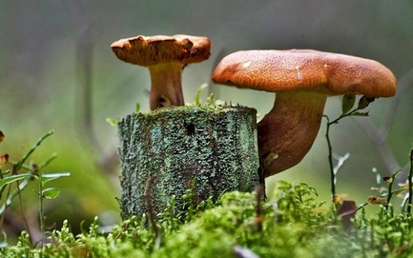 Превратив пень в место для выращивания грибов, вы не только избавитесь от надоедливой коряги, но и порадуете семью домашними грибочками