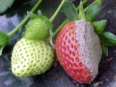 Пример того насколько опасны вредители земляники садовой