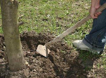 Разрыхляя землю, мы «запираем» влагу в грунте