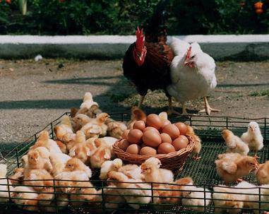 Разведение куриц позволяет совместить два в одном: яйца и мясо