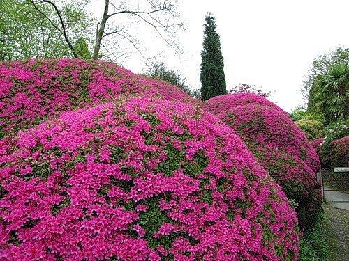 Рододендрон – очаровательное цветение