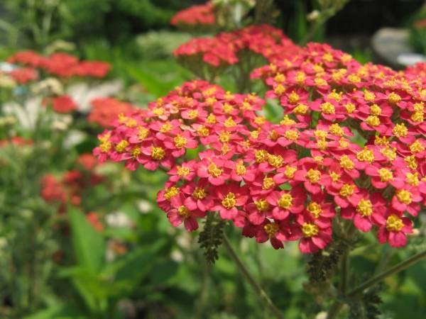 Роскошный тысячелистник украсит ваш сад пёстрыми оттенками